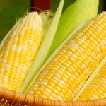 A basket of sweet corn, three ears partially husked